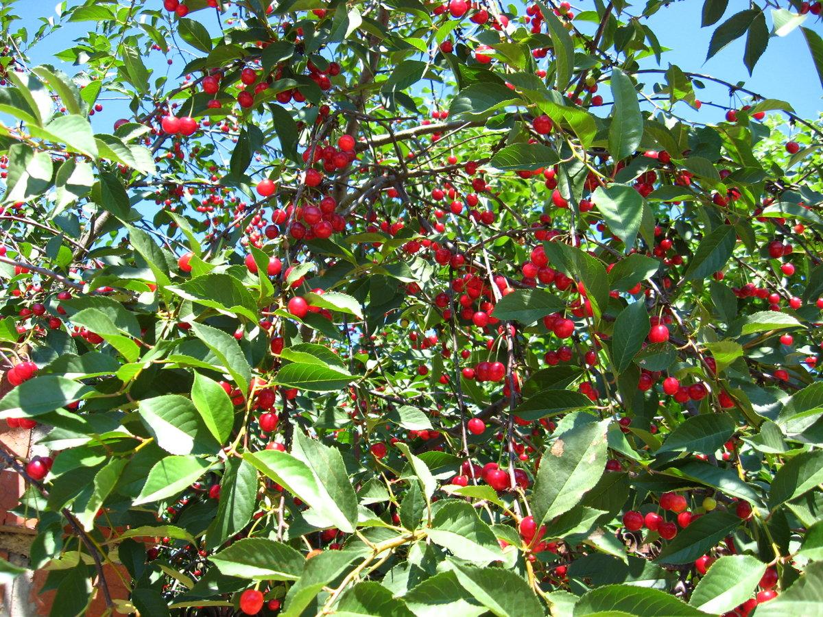 дерево вишня сорта и фото мультиварке