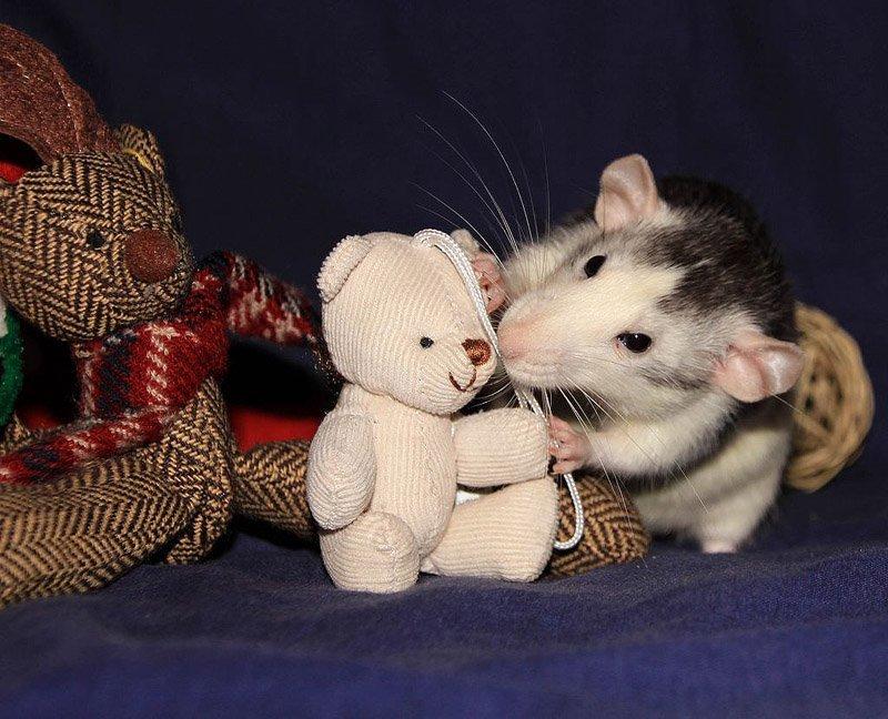 Картинки крысы с игрушкой