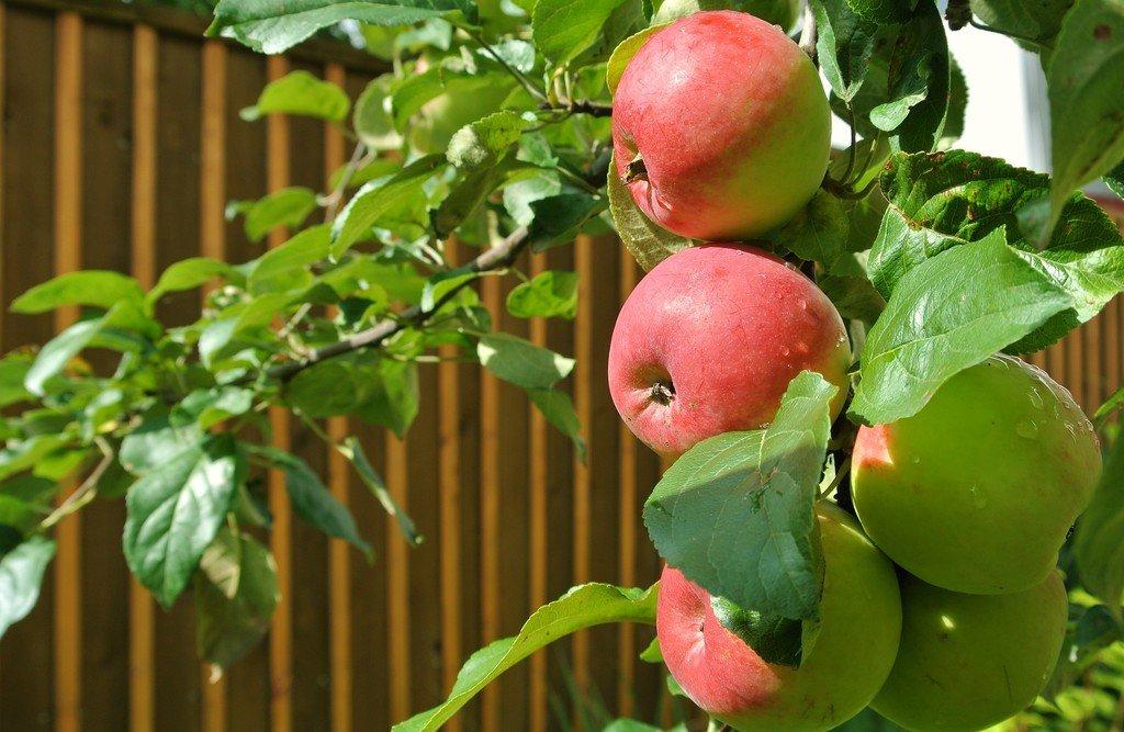 Говорило яблочко веточке своей