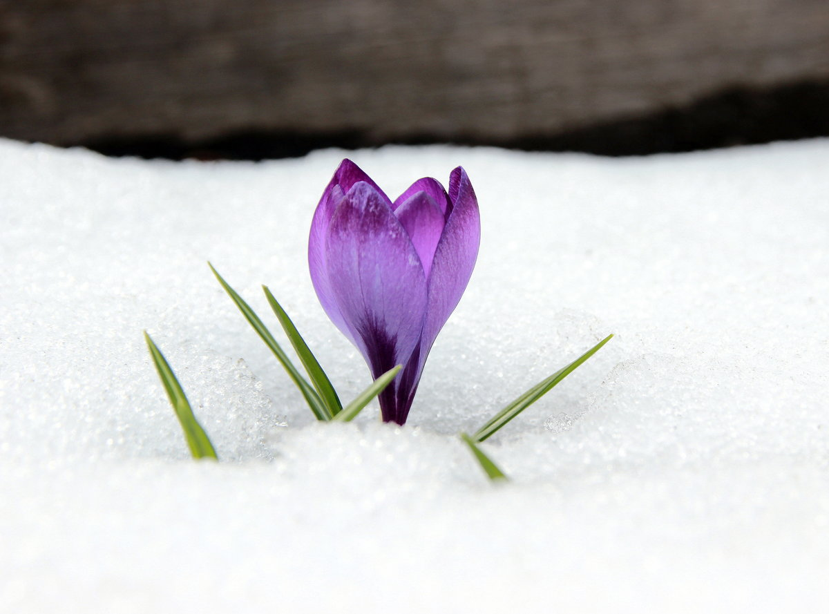 открытки крокусы в снегу можем
