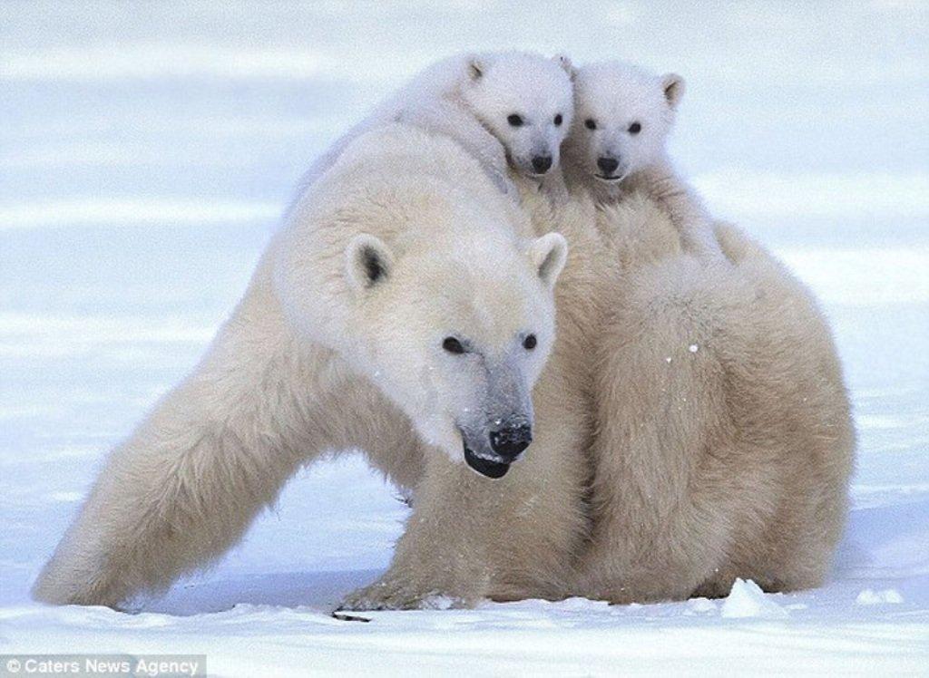 фото белой медведицы с медвежонком