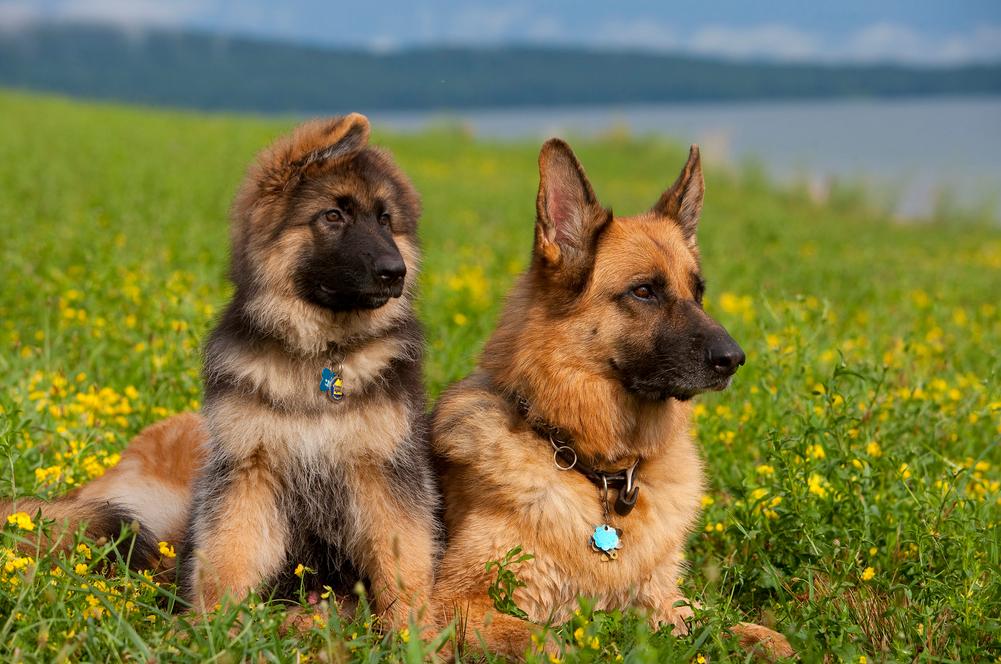 Эти собаки уверенные в себе и весьма решительны. Поэтому из них вырастают преданные друзья и бесстрашные охранники