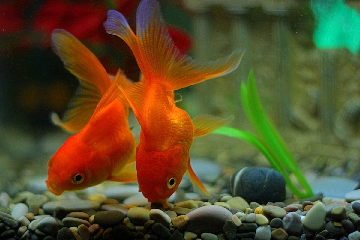 или все картинки домашних рыб знать особенности