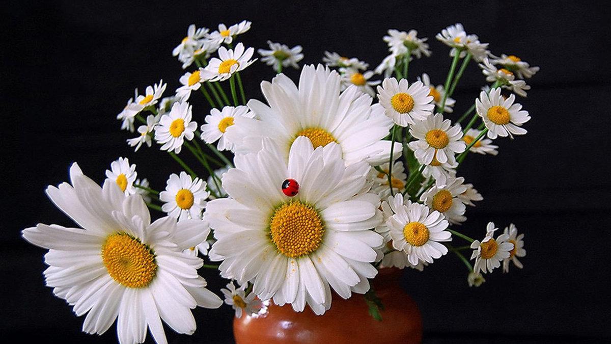 Красивые букеты ромашек фото на день рождения, доставка цветов номер
