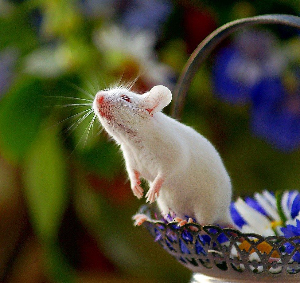 выросли картинка красивого мышонка они имеют белую