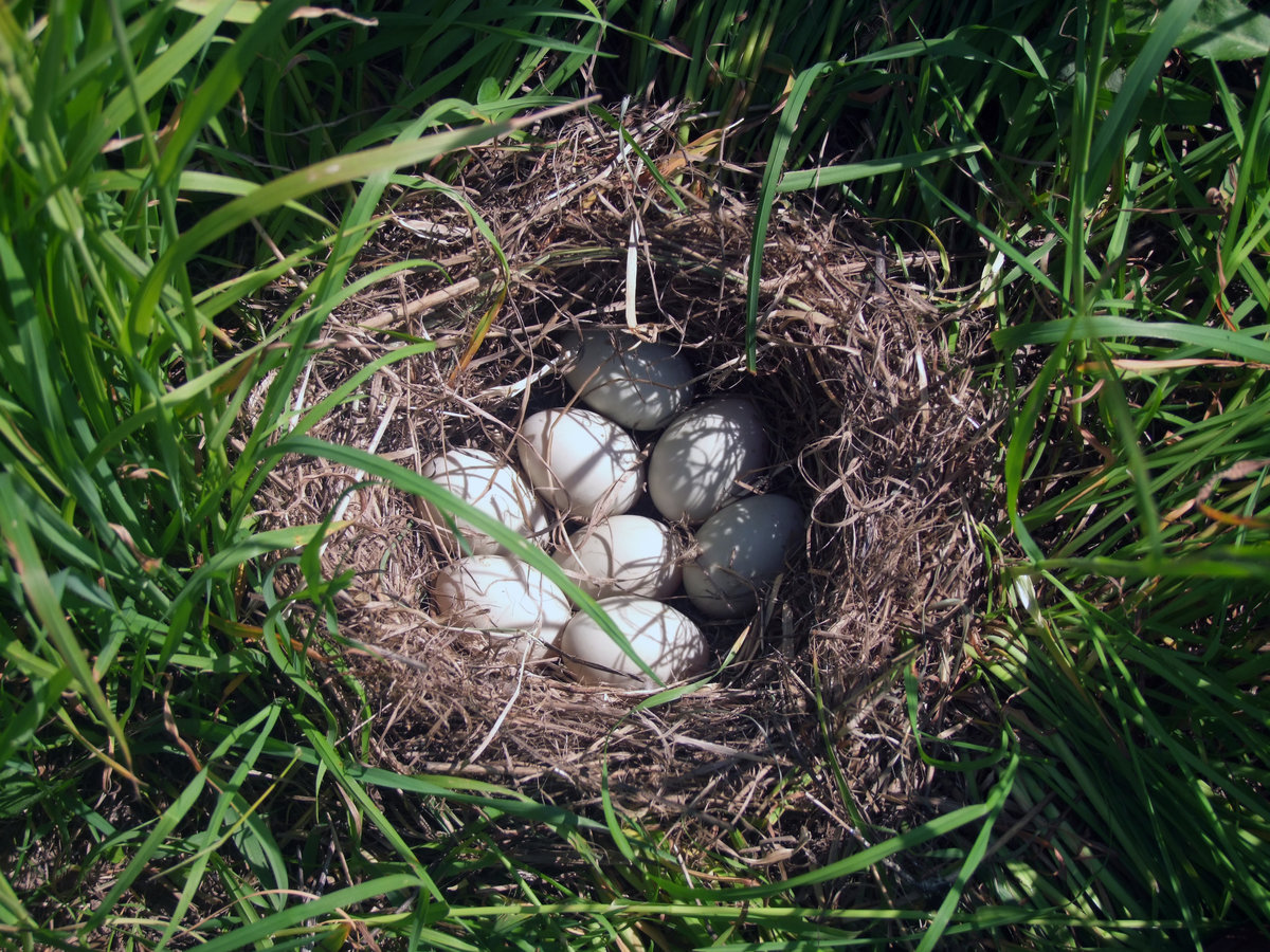 птицы фото гнездятся в траве один