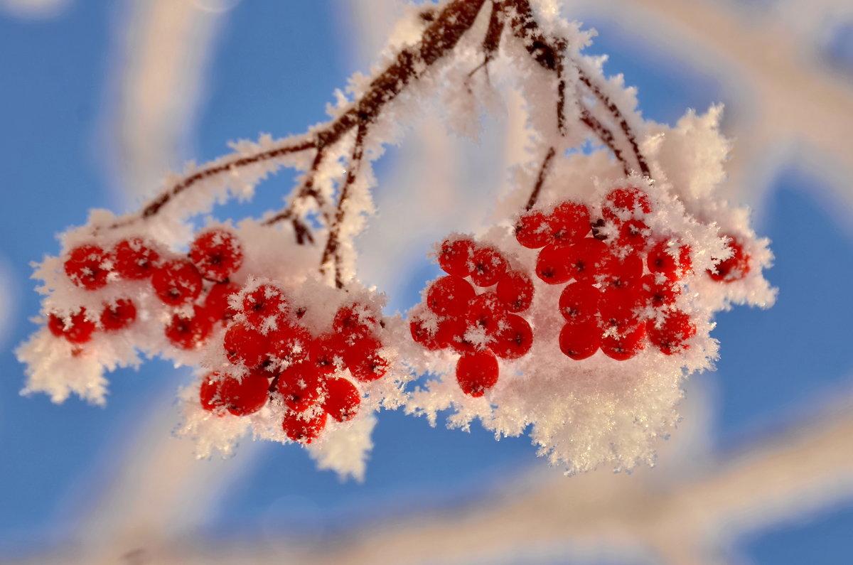 открытки рябина в снегу этих текстурах