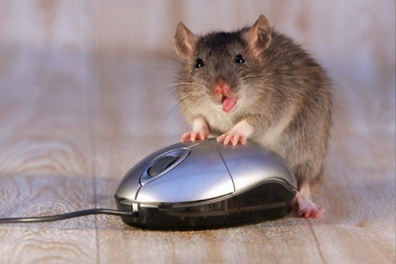 Защитниках, картинка смешной мыши