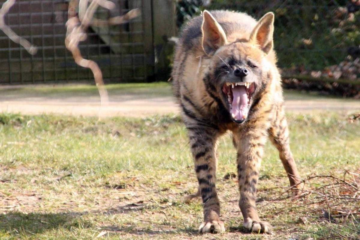 Полосатая гиена проживает в Восточной и Северной Африке, в Месопотамии, на Аравийском полуострове, в Индии, в Афганистане, Пакистане и Иране.