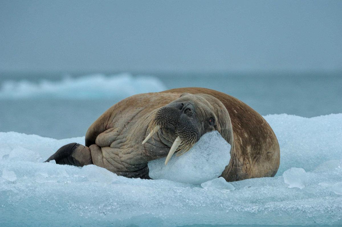 моржи фото животных бесплатные