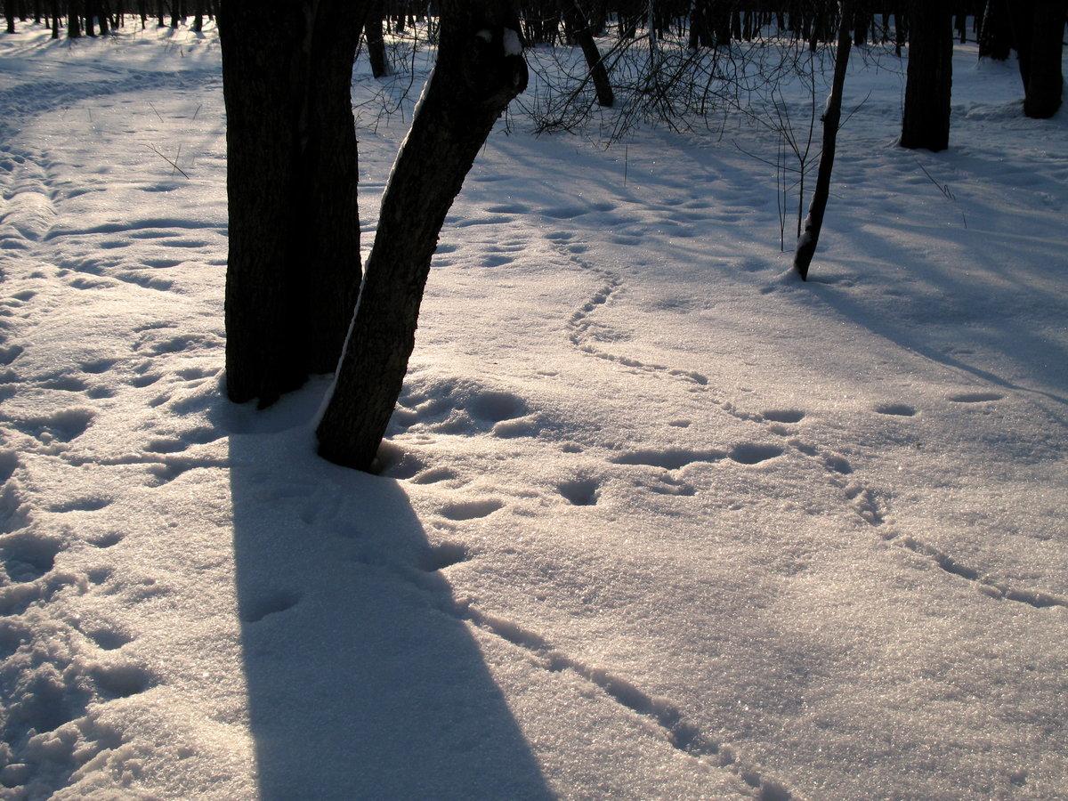 Картинки со следами животных на снегу