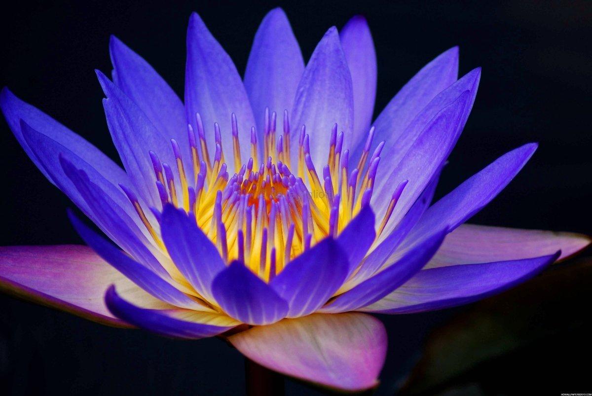 Purple Lotus Flower Wallpaper Hd Card From User Dl46dl In