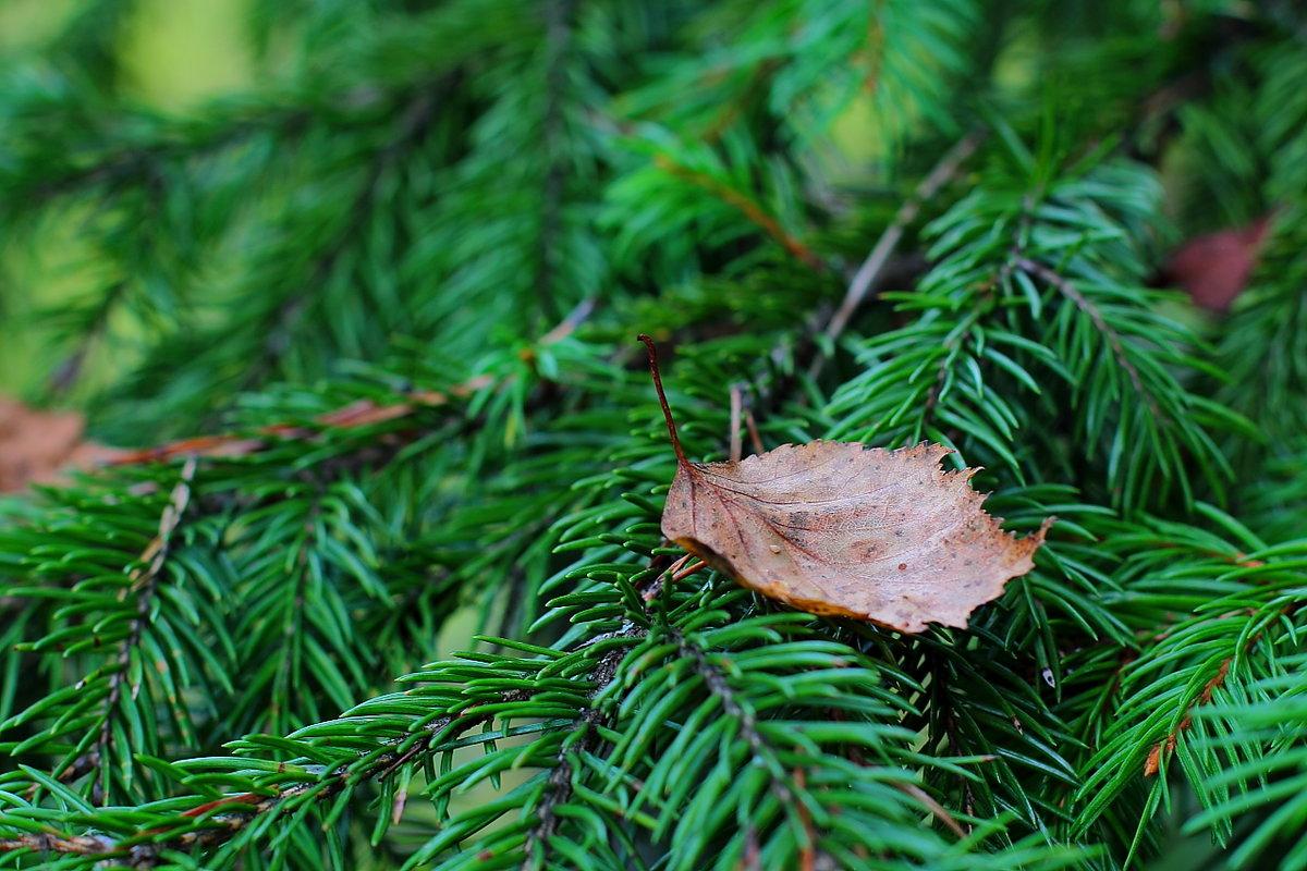 появляться неизвестные листья ели фото устанавливаются алюминиевые детали