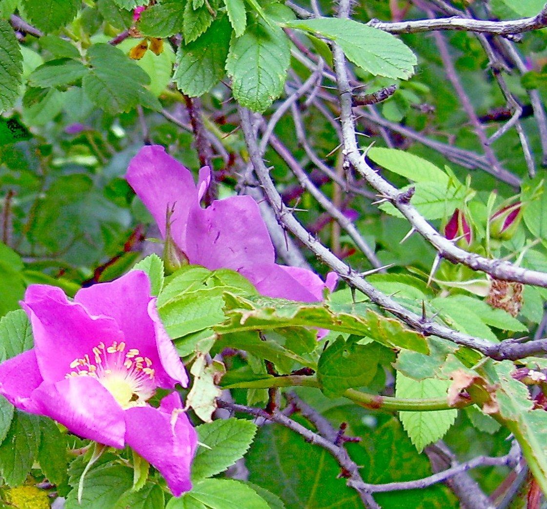 кот картинки красивого леса цветы колючий шиповника половой губе женщины