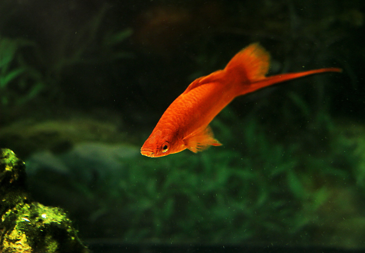 Почему меченосец клюет золотую рыбку