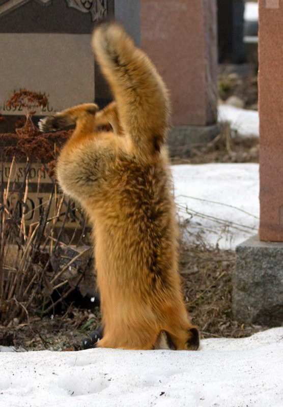 Лиса ныряет в снег, чтобы поймать мышь