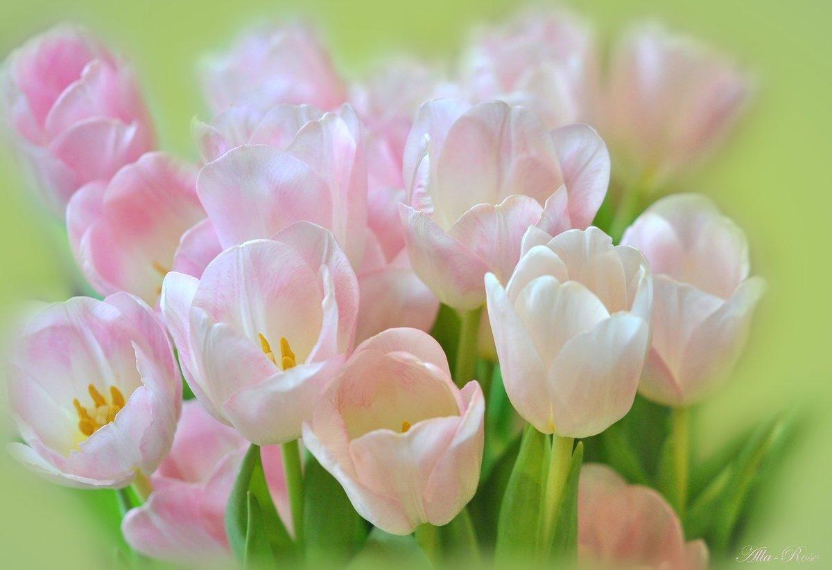 звонок, картинка нежно розовых тюльпанов флаг