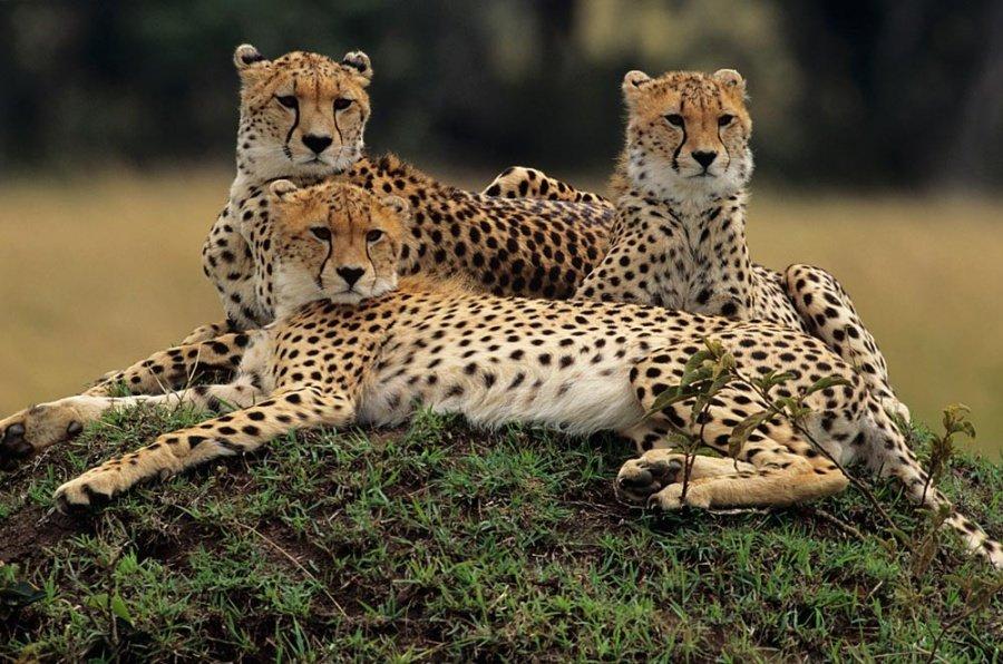 Картинки хищника и другие разнообразие причесок