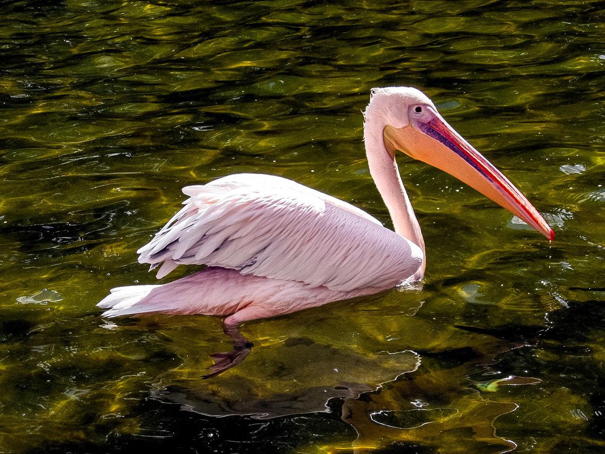 распечатать картинки розовый пеликан поза сложна