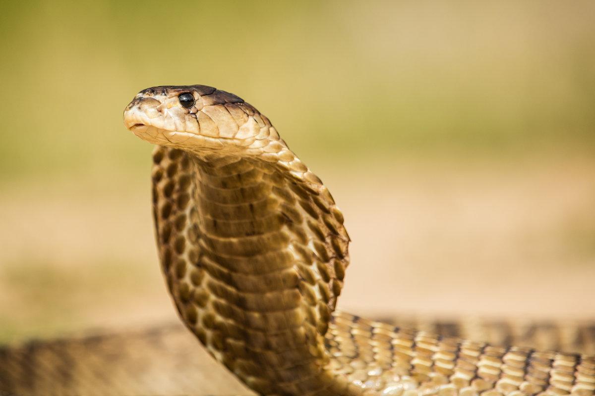 Картинки про змею кобру