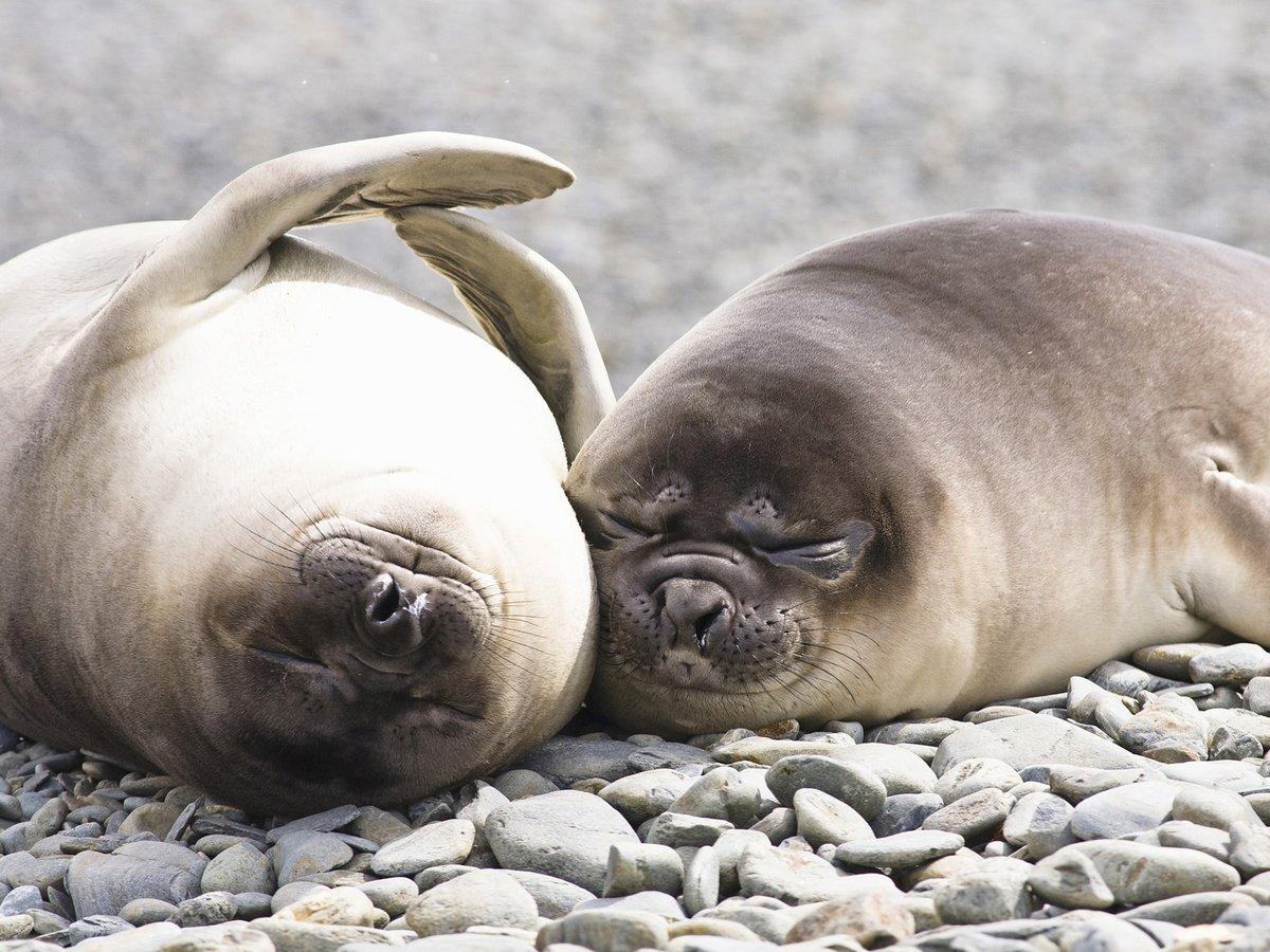 Веселые тюлени картинки