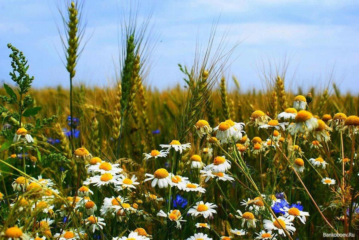 Полевые цветы полевые васильки и ромашки в лугах, составлению