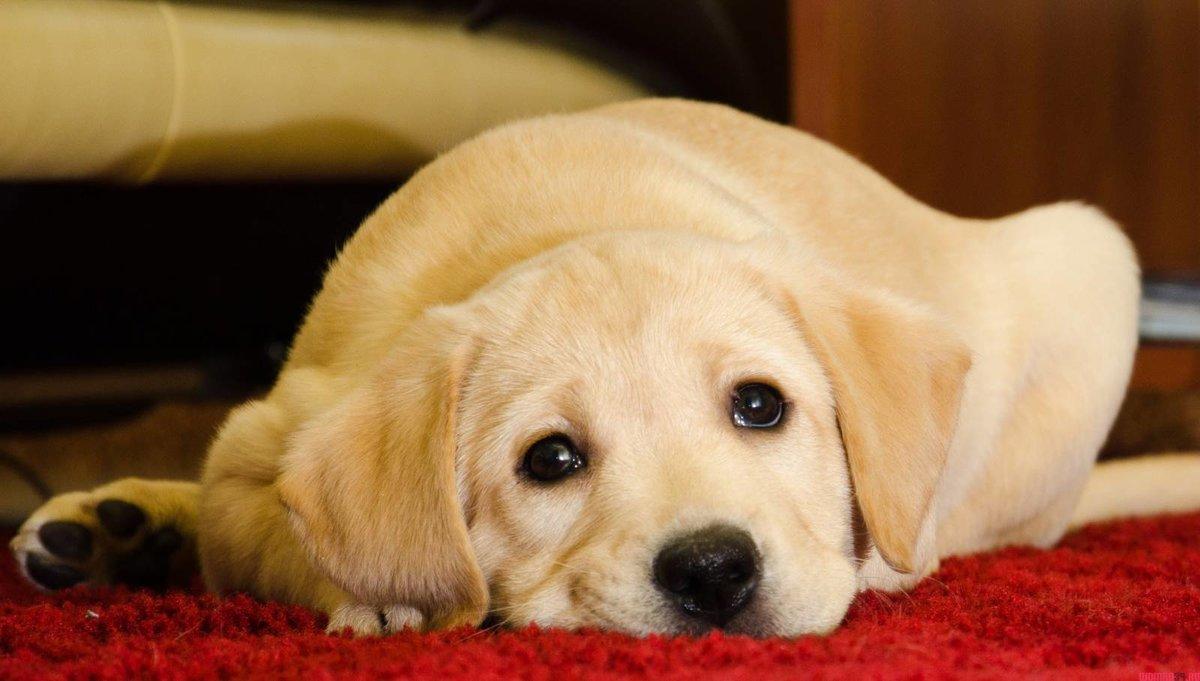 Картинки лабрадора собаки