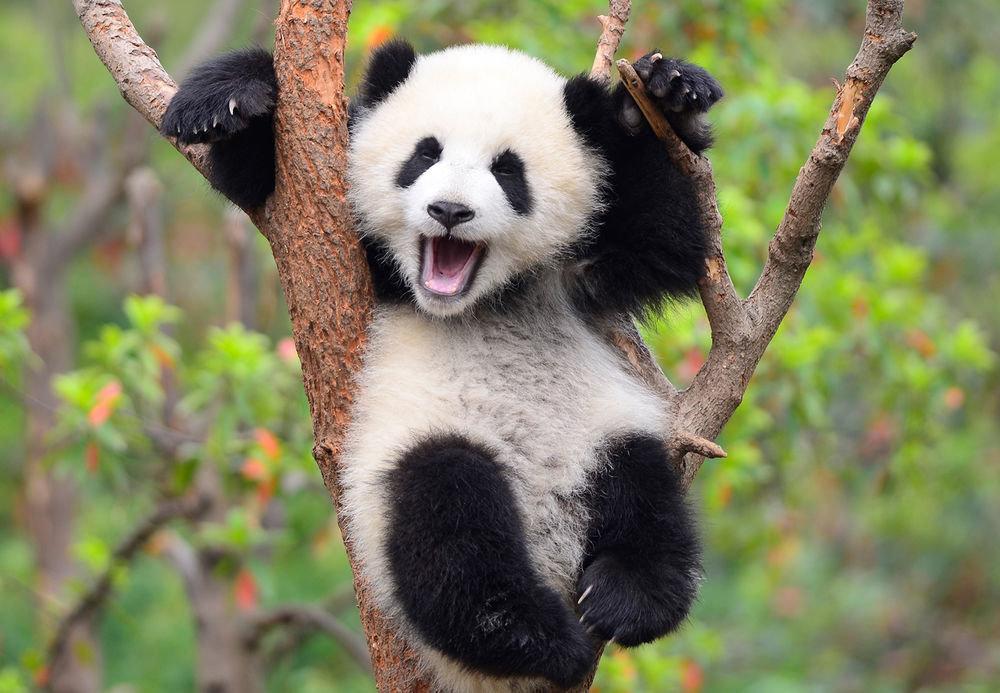 Панда приколы в картинках