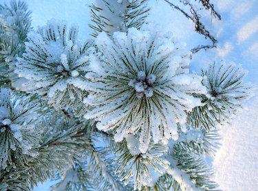 Картинки по запросу сосна в снегу как цветок фото
