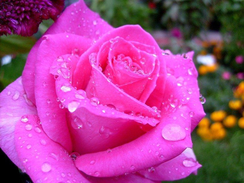самые красивые розы мира фото розовые сплав велосипедный тормозной