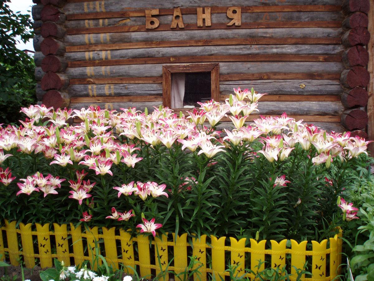 лилии в саду оформление клумбы день, начинающие