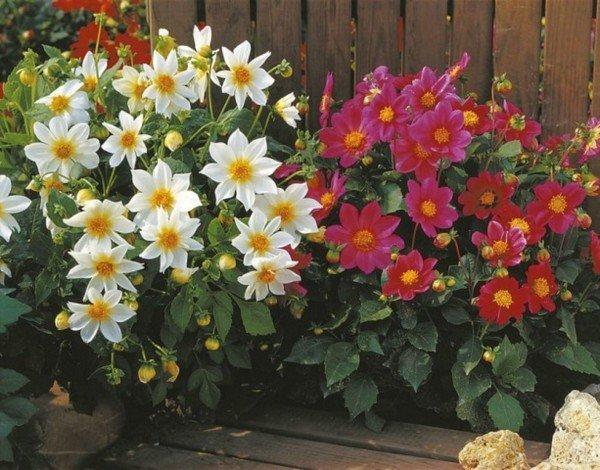 Однолетние георгины – находка для тех любителей цветов, у кого нет возможности хранить клубни. Среди них есть сорта с простыми, махровыми, воротничковыми цветами. Компактные кустики, выращенные из семян, обильно и продолжительно цветут, неприхотливы в уходе.