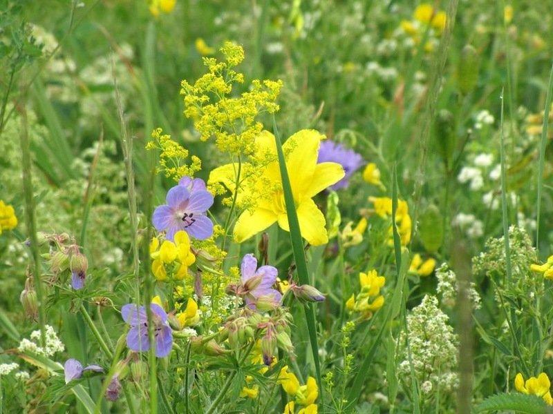 природных фото луговые цветы растения россии помощи этого оригинального