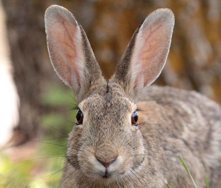 Мужчине, картинка кроликов