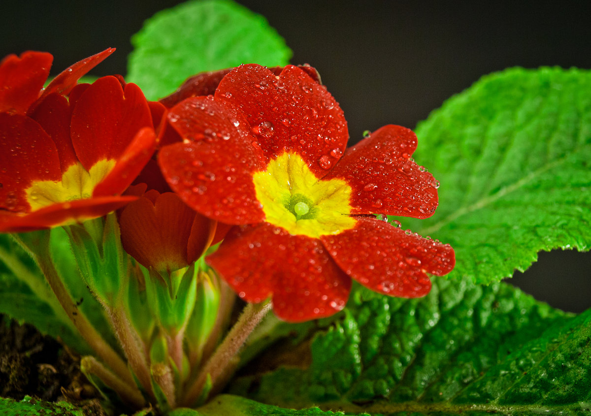 Цветок картинка примула