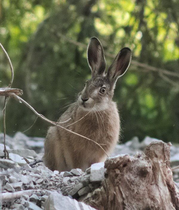 Заяц русак в лесу.