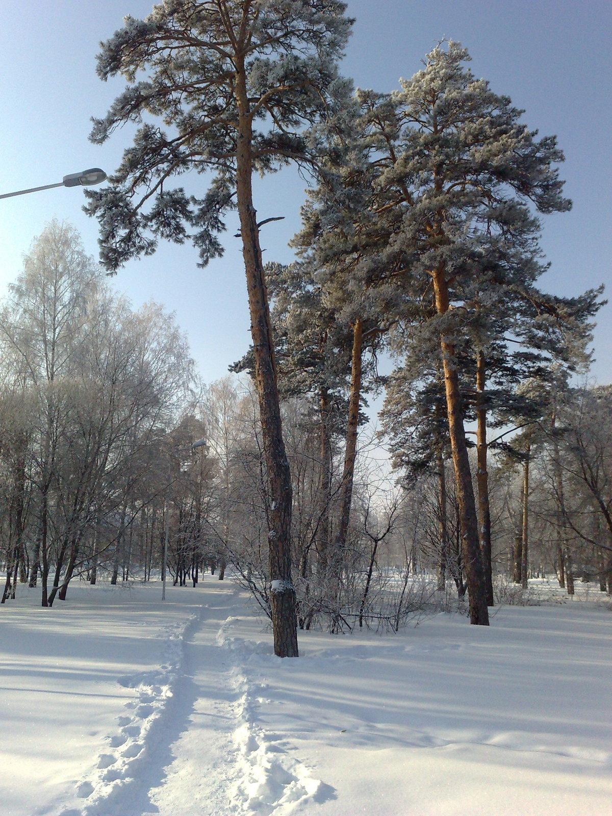 Шатуре сосны фото зима