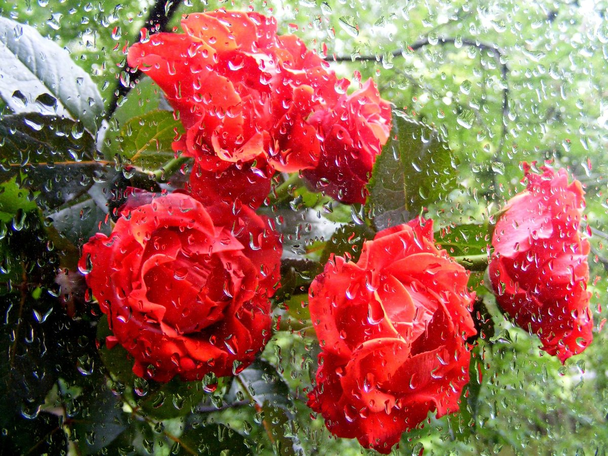 розы под дождем фото скрытна