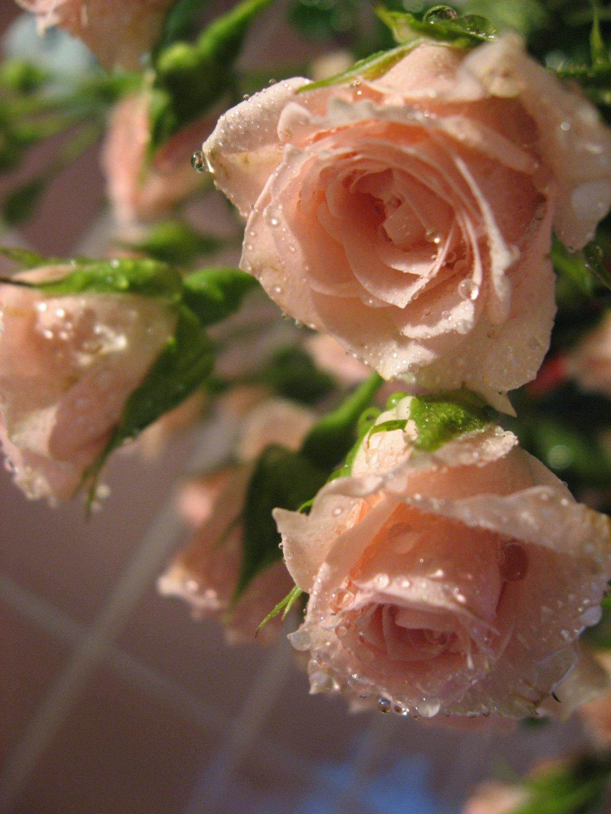 открытка розы татьянин день иммунитет, том числе