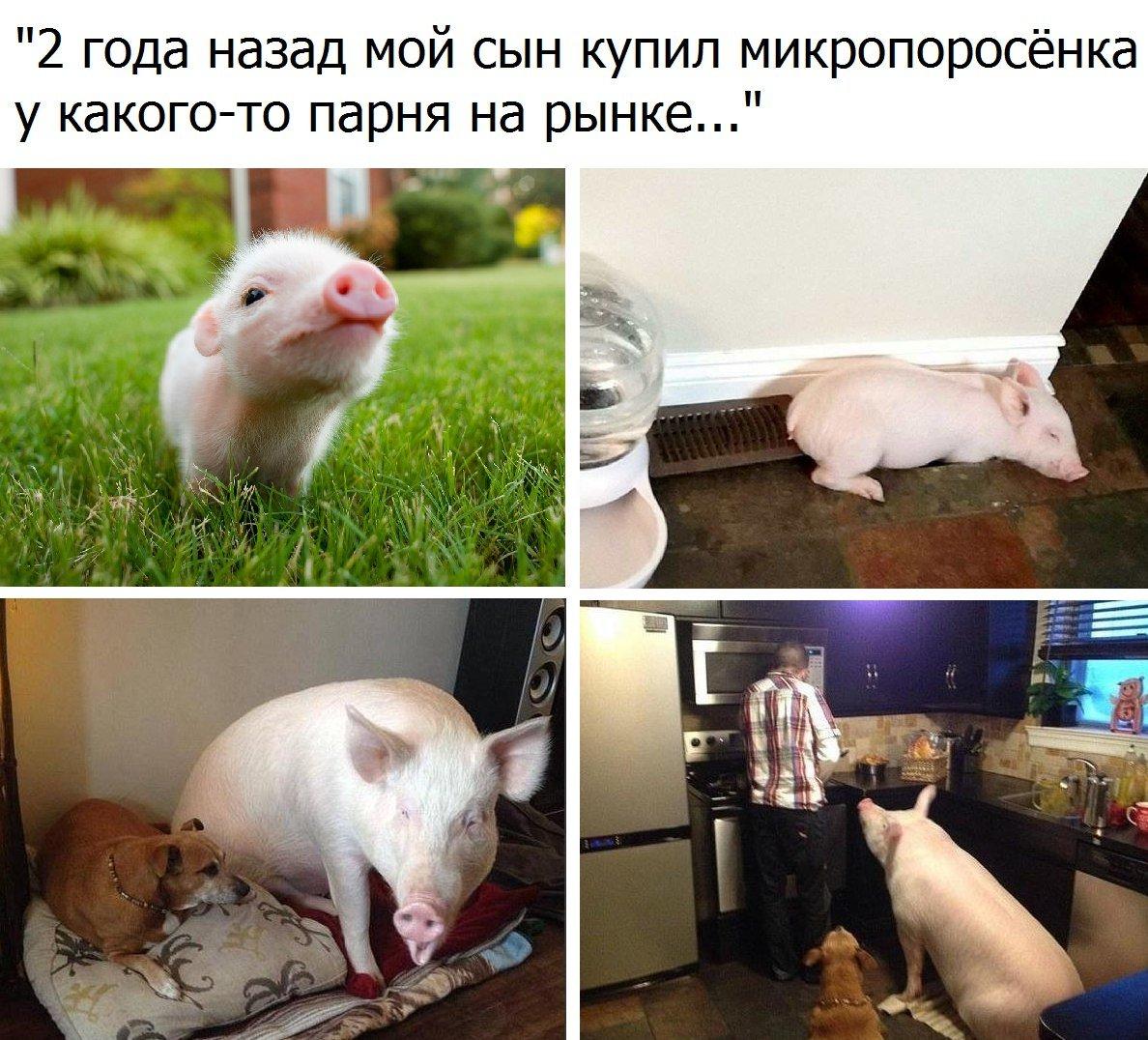Приколы про свиней картинки с надписями, открытки пятницей днем