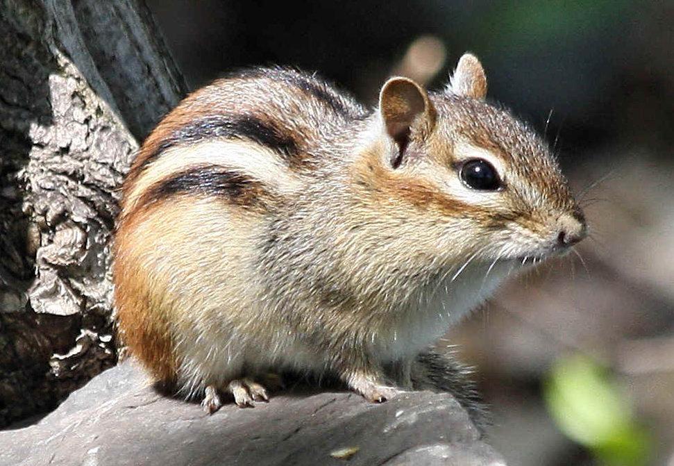 Бурундук фото животного