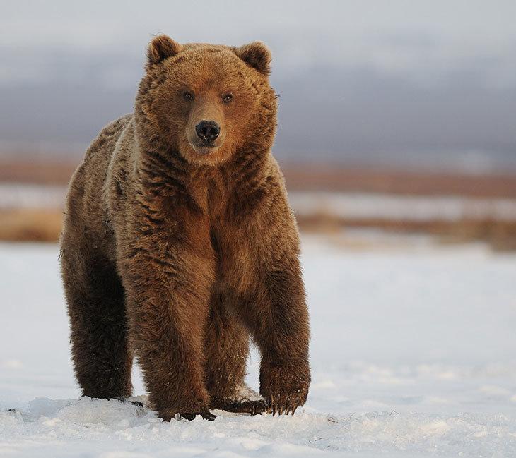 Картинки медведь картинки медведь