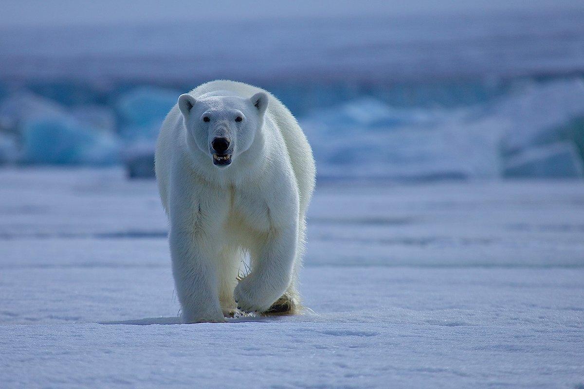 Картинки белые медведи, школу