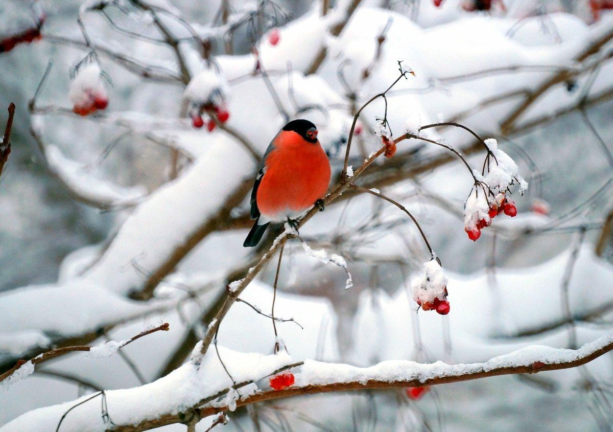 Снегирь в снегу картинки