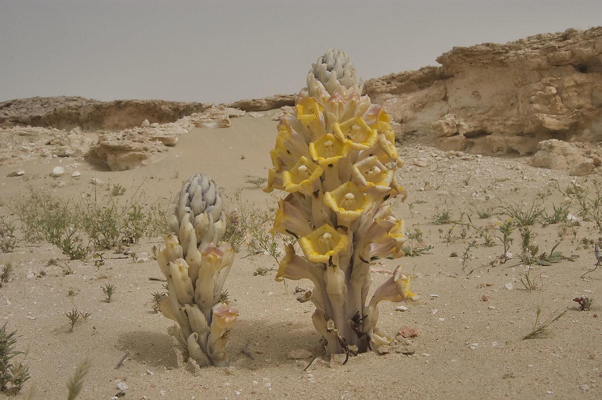 sahara desert plants - HD1155×768