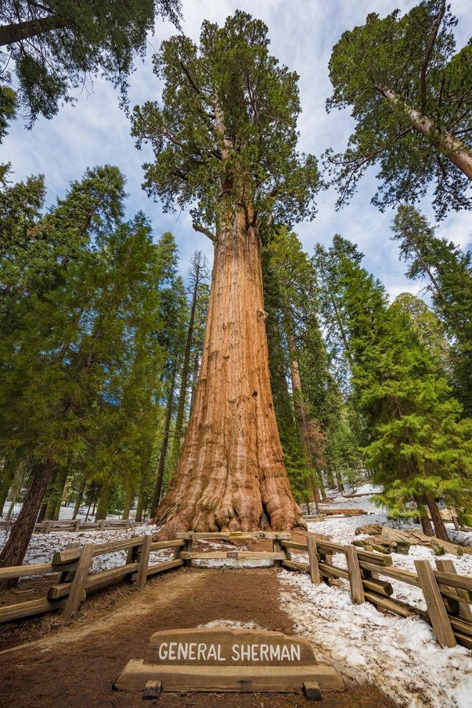 принципе дерево генерал шерман картинки филе индейки