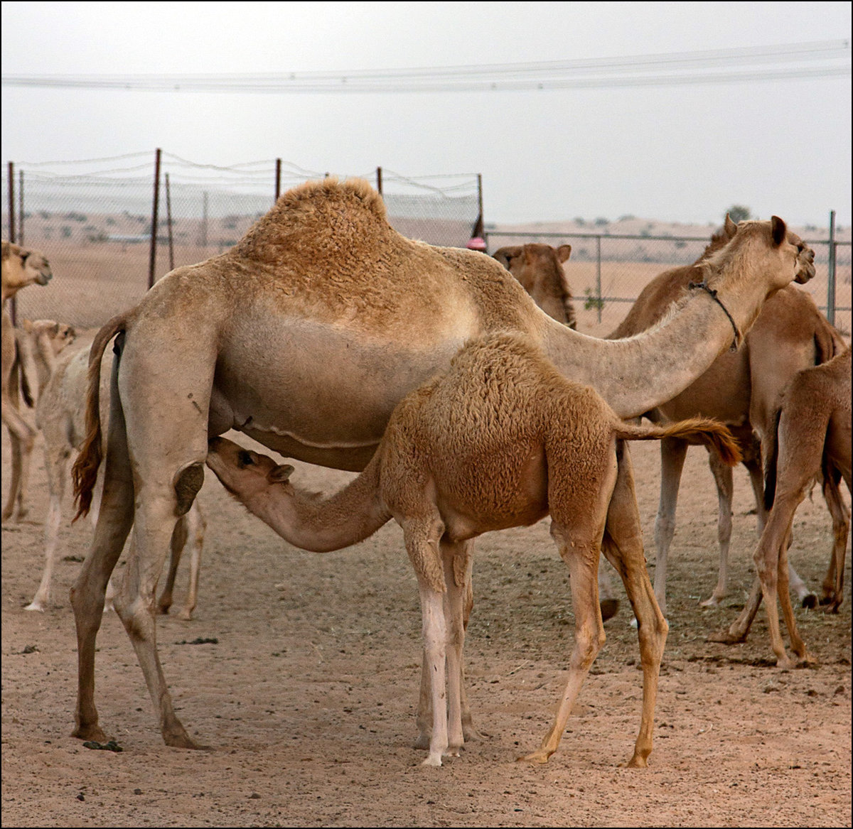 Детеныш верблюда картинки