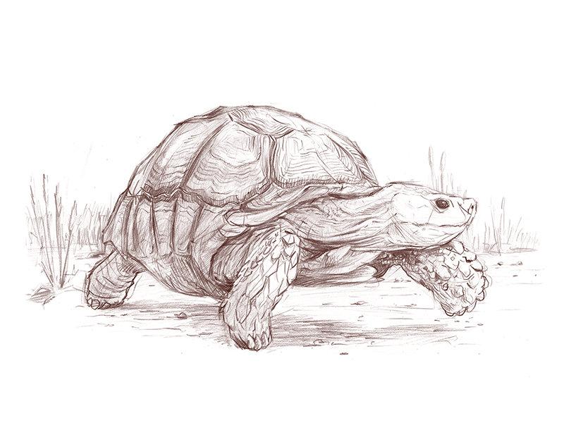 Черепахи картинки срисовать