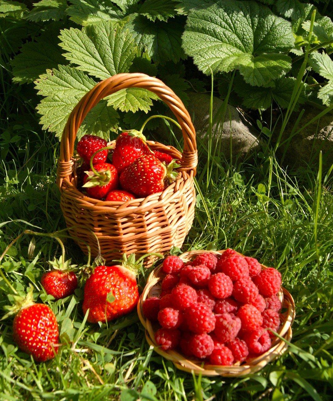живые картинки ягоды птичника для описываемых