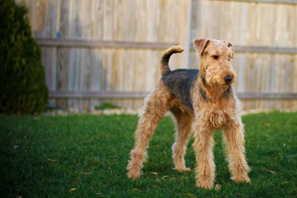 airedale terrier pictures
